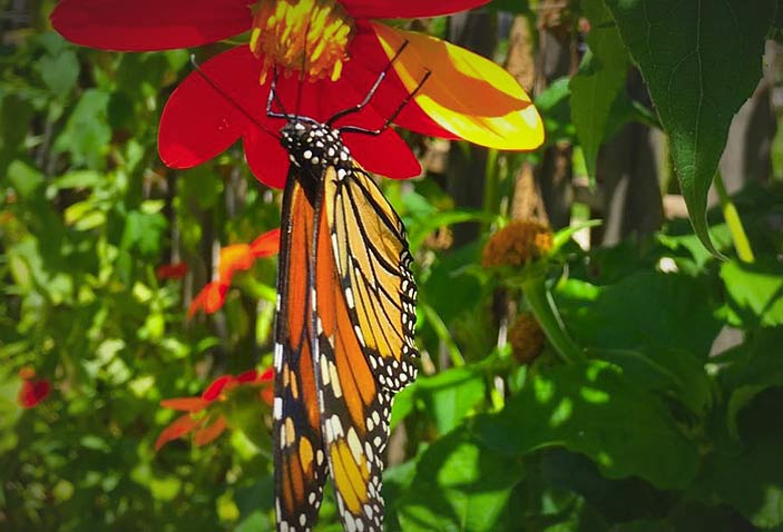 The Monarch Butterfly, Danaus plexippus, is an amazing site just before they head south toward Mexico in their annual migration.  Photo: Colleen Hargis