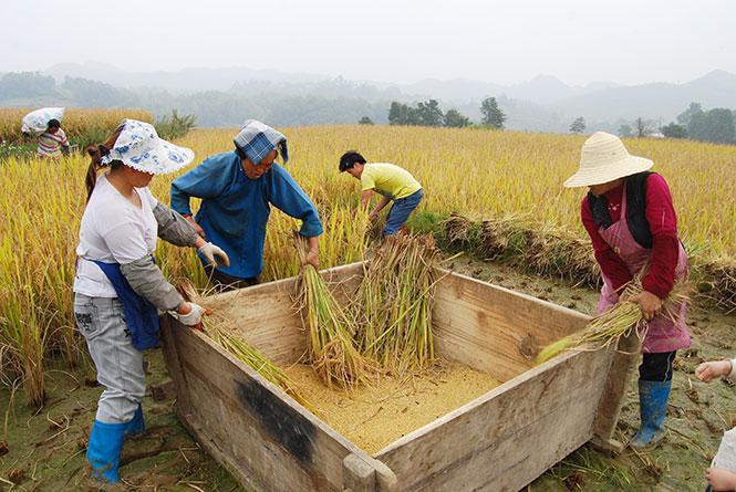 Rice-Fields.jpg