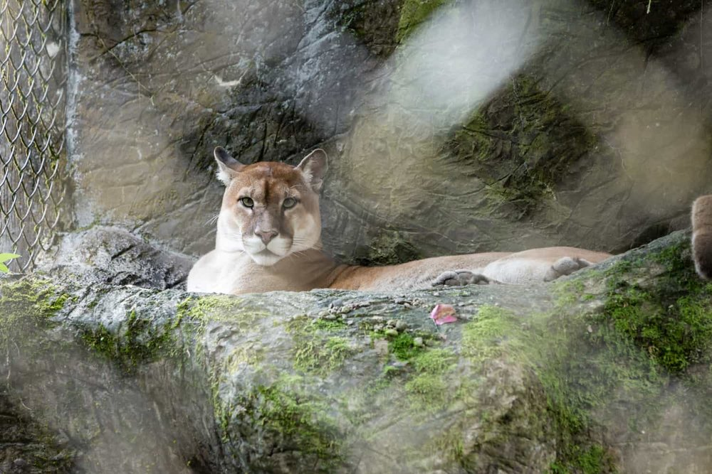 Puma laying down in animal sanctuary