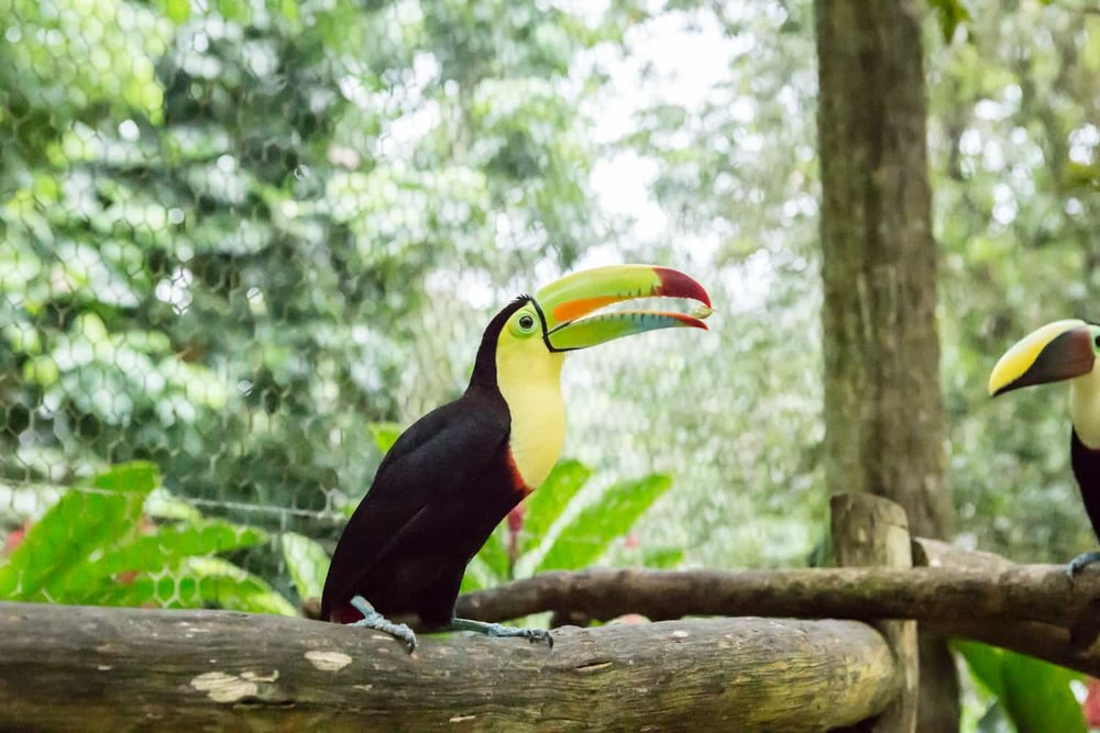 Toucan with green and red beak in Club Rio aviary.