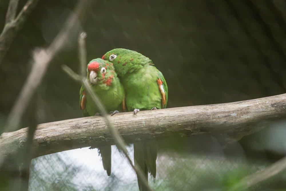 Two parrots cleaning each other in aviary at The Springs in Arenal.