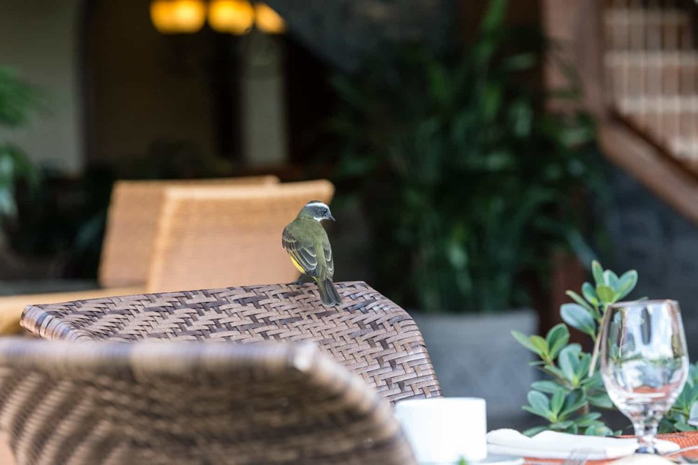 Bird on chair at restaurant at The Springs Resort & Spa in Arenal.