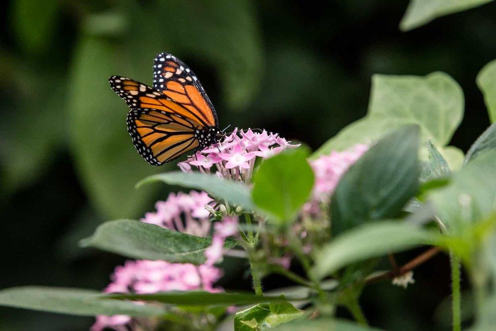 Orange and black butterfly feeding on flower in garden for butterflies in Poas.