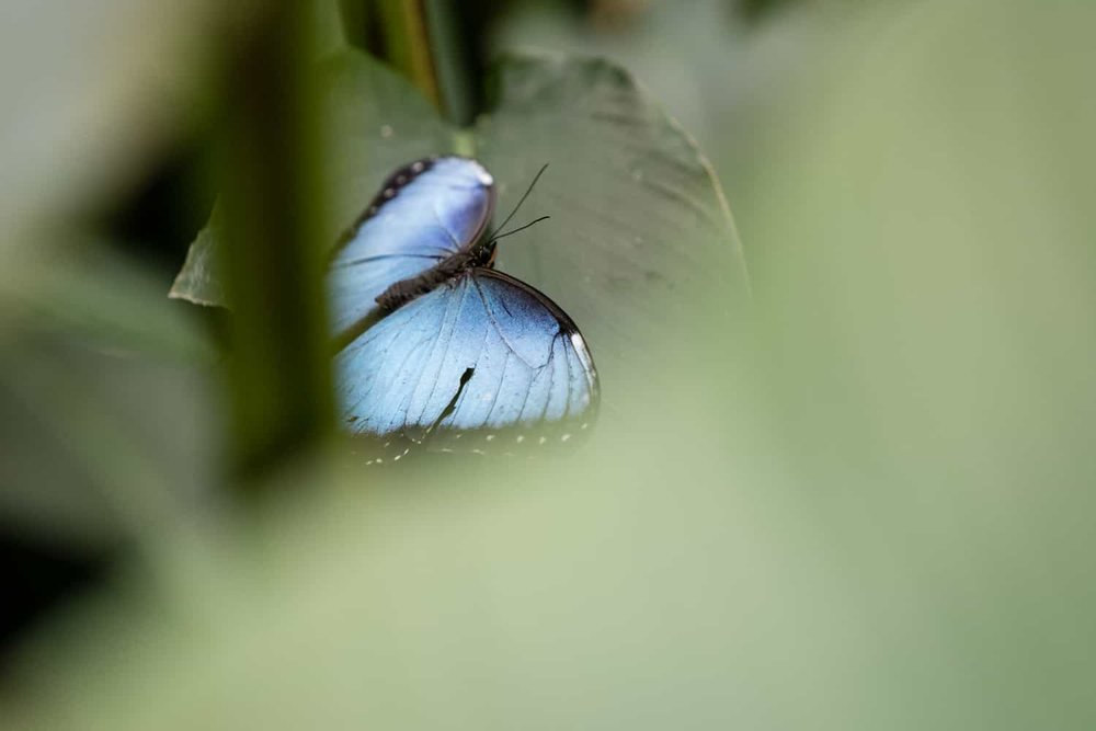 Sky blue and black butterfly in garden at Peace Lodge in Costa Rica.
