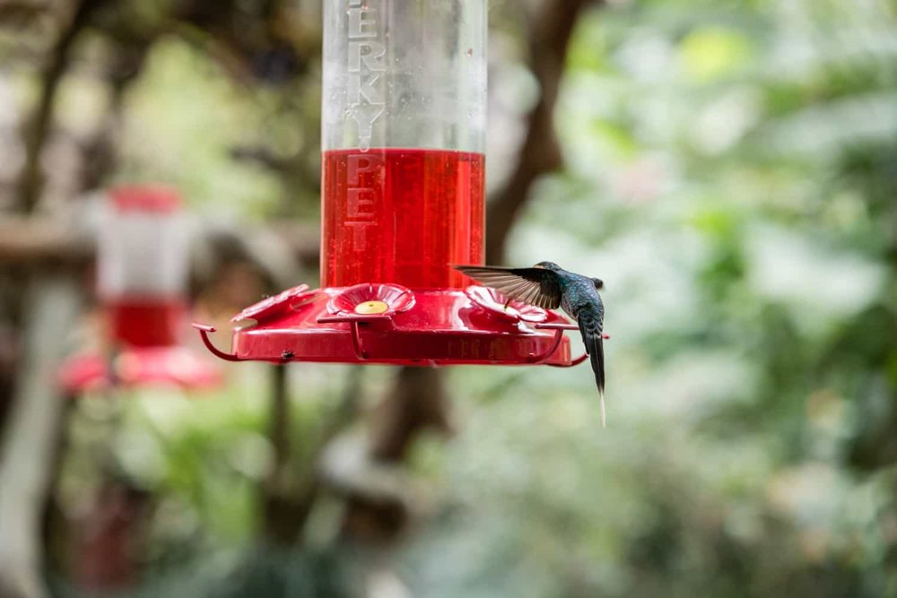 Hovering hummingbird feeds in picturesque garden ideal for tying the knot.