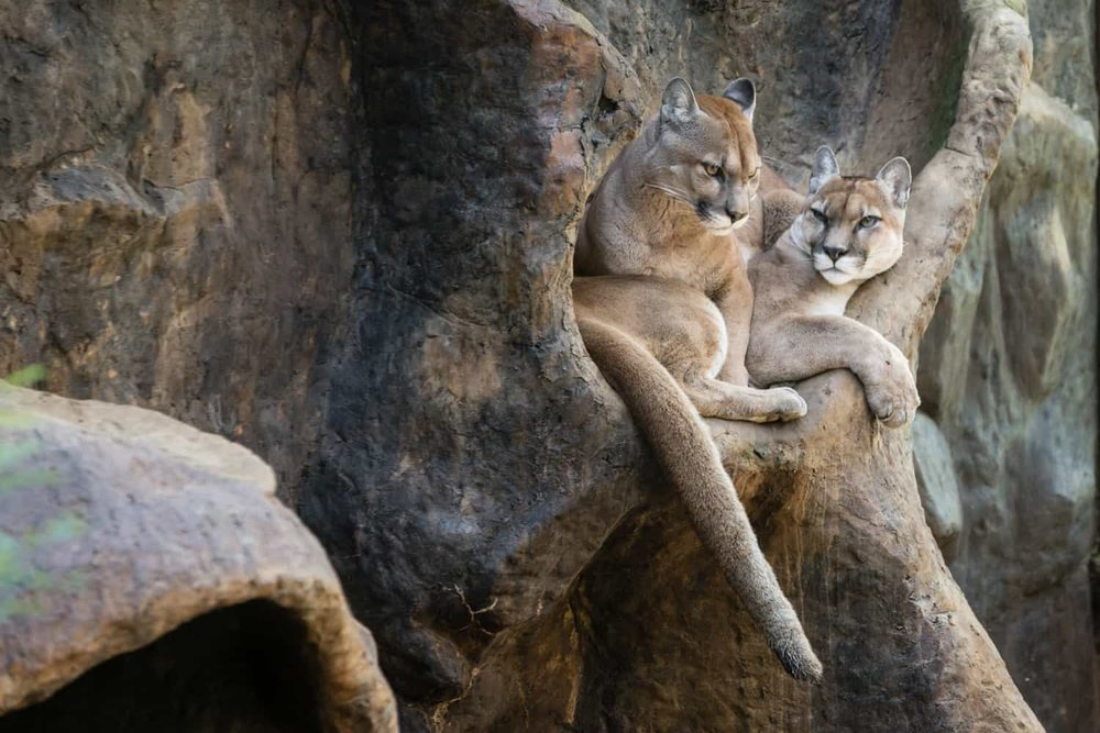 Pumas laying next to each other in animal sanctuary in La Paz Waterfall Gardens.