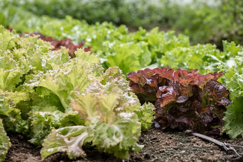 A variety of lettuces for organic salads.