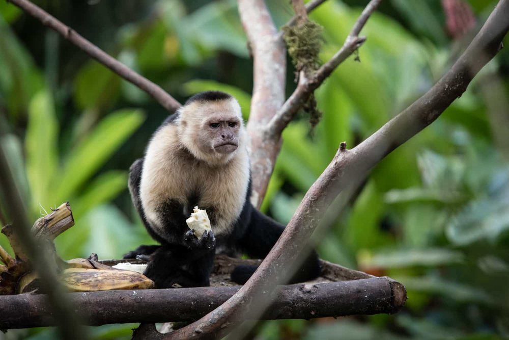 White face monkey having a snack on feeding platform for wildlife at Rio Celeste Hideaway Hotel.