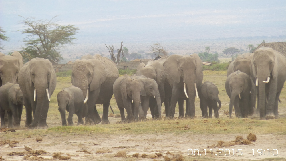 Herd of elephants walking through Amboseli National Park