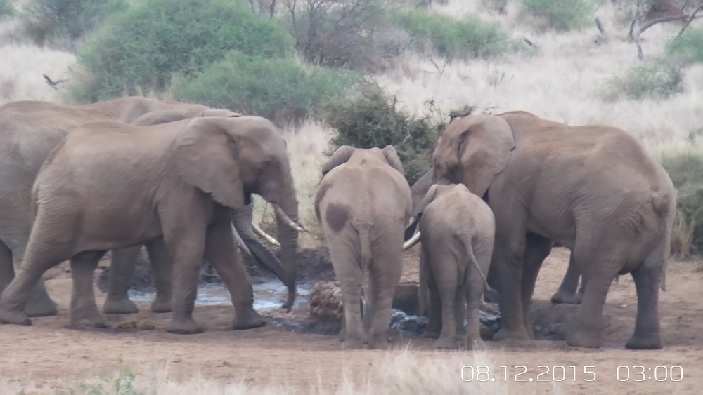 Elephants drinking and socializing at water hole right outside Satao Elerai main lodge
