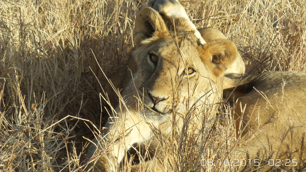 A lioness keeping watch in Laikipia