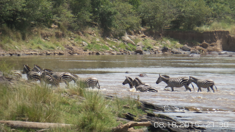 Great Migration, Zebras crossing the river from Tanzania to Kenya, Masai Mara Game Reserve