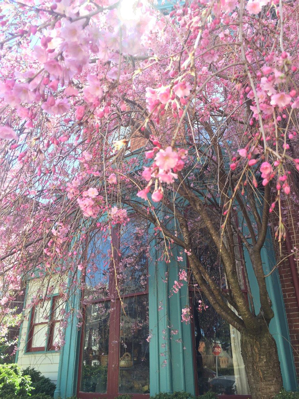 annapolis-cherry-blossom.JPG