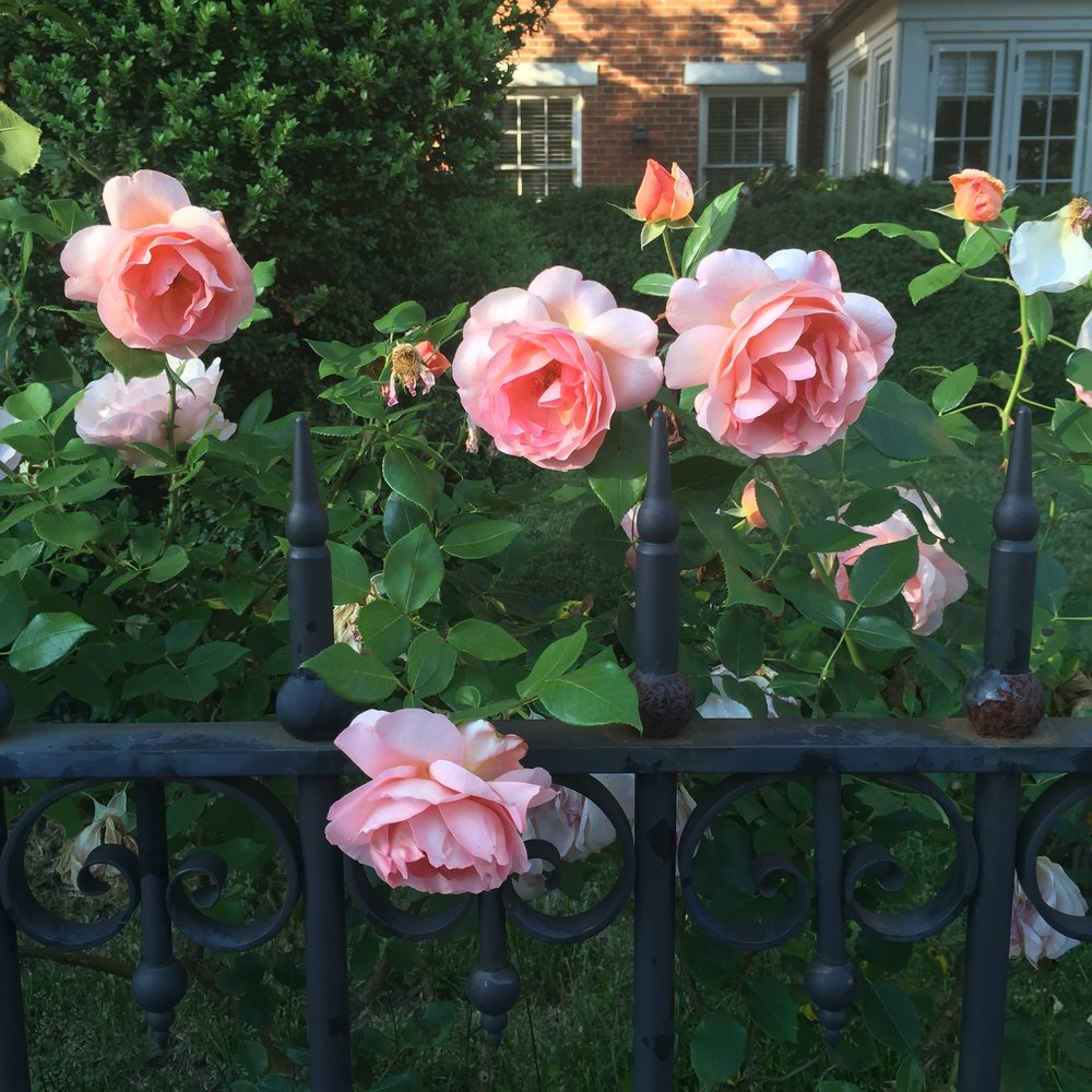 rose-king-george-street-annapolis.JPG