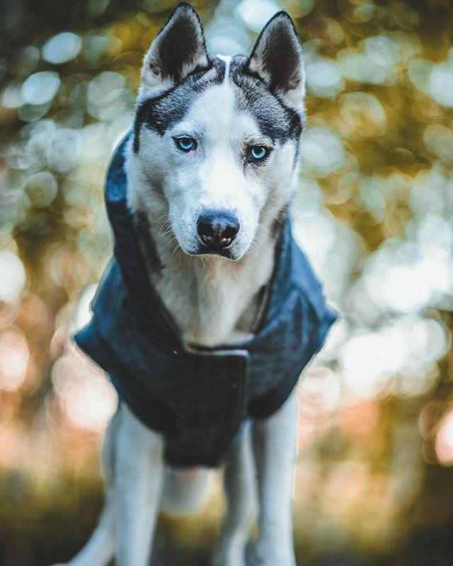 Happy Wednesday! Here is my best @tyrabanks smize 😏🙃 . . Outfit: @canadapooch . . Pawtners:  @carl_thegirl_husky @a_husky_life @husky_bellarina .  #husky  #huskiesofinstagram #huskyphotography #snowdog #peteethehusky  #dogsofinstagram #campingwithdogs #hikingwithdogs #dogsofcanada  #dogaccessories #instadog  #canada #justhuskies  #barkbox  #adorable #dogsoftoronto @instagram #thedodo  #canadian #instadog #canadapooch #canada150🇨🇦#bugcomodelseach2017