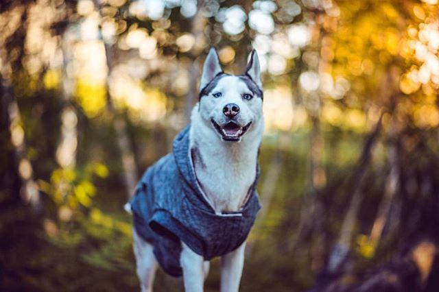 My face when dad tells me we're going to have a boys day 🙂😺 . . Pawtners:  @carl_thegirl_husky @a_husky_life @husky_bellarina .  #husky  #huskiesofinstagram #huskyphotography #snowdog #peteethehusky  #dogsofinstagram #campingwithdogs #hikingwithdogs #dogsofcanada  #dogaccessories #instadog  #canada #justhuskies  #barkbox  #adorable #dogsoftoronto @instagram #thedodo  #canadian #instadog #canadapooch #canada150🇨🇦