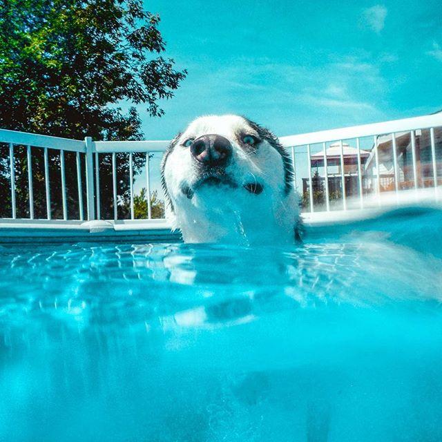 Big smile swimmin' away in grandmas pool. I was patiently waiting for pool season to come back 😍🐳 . . Pawtners:  @carl_thegirl_husky @a_husky_life @husky_bellarina .  #husky  #huskiesofinstagram #huskyphotography #snowdog #peteethehusky  #dogsofinstagram #campingwithdogs #hikingwithdogs #dogsofcanada  #dogaccessories #instadog  #canada #justhuskies  #barkbox  #adorable #dogsoftoronto @instagram #thedodo  #canadian #instadog #canadapooch #canada150🇨🇦 #underwater #underwaterphotography #dogsunderwater #nikon
