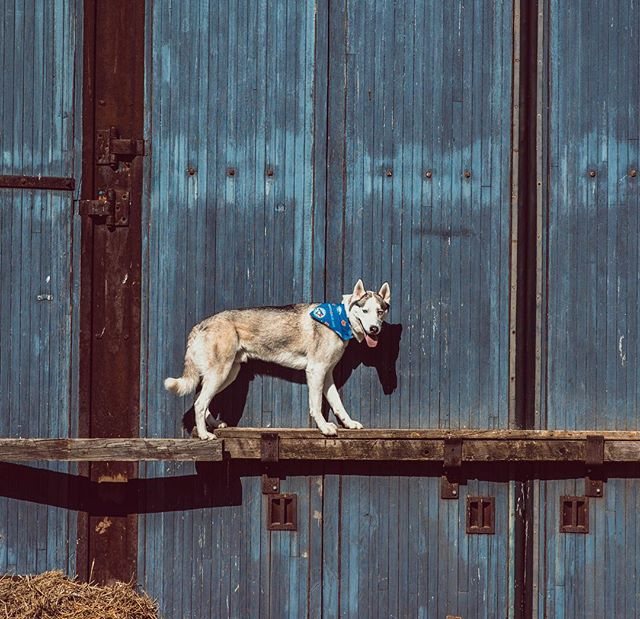 Just hangin' out on a door ledge 😜✌🏼 . . Bandana: @twelvepawsca . . Pawtners:  @carl_thegirl_husky @a_husky_life @husky_bellarina .  #husky  #huskiesofinstagram #huskyphotography #snowdog #peteethehusky  #dogsofinstagram #campingwithdogs #hikingwithdogs #dogsofcanada  #dogaccessories #instadog  #canada #justhuskies  #barkbox  #adorable #dogsoftoronto @instagram #thedodo  #canadian #instadog #canadapooch #canada150🇨🇦 #bluejays #wall #woofandwalls