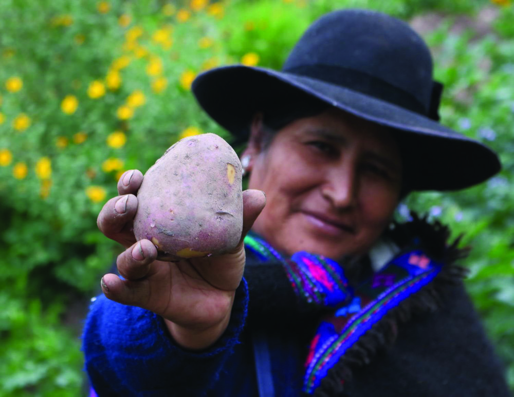 The Kawsay Potato  : A Peruvian farmer holding the Kawsay potato, a late blight resistant, experimental cultivar  (Photo: International Potato Center)