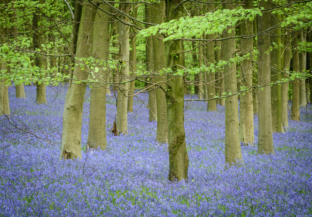 Just a happy picture: Bluebells in Kent