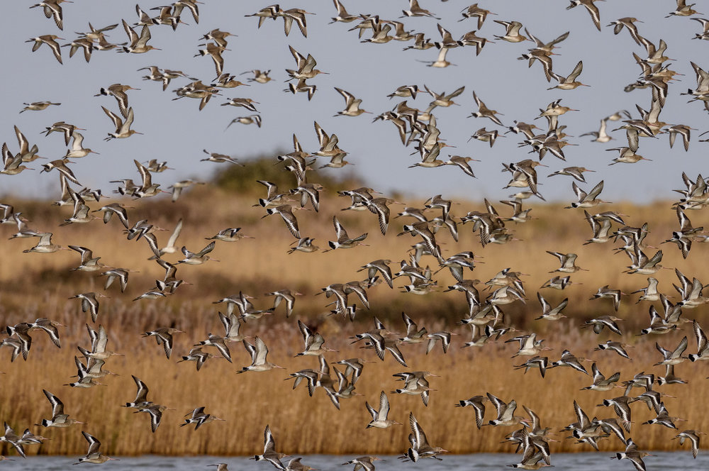 Black-tailed godwits blast into the air, Sat 30 Dec 2017