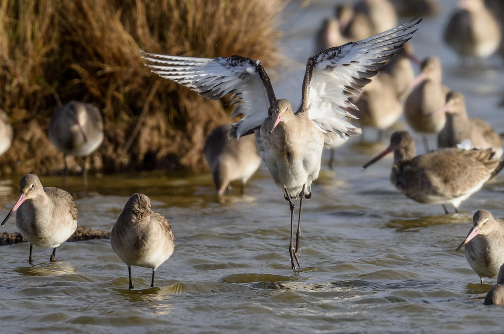 Rising up to greet 2018 - black-tailed godwit at Oare