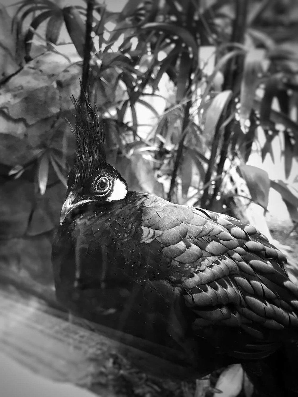 Ein Palawan Pfaufasan betrachtet die Menschen genauso neugierig durch die Scheibe, wie die Zoobesucher ihn :)
