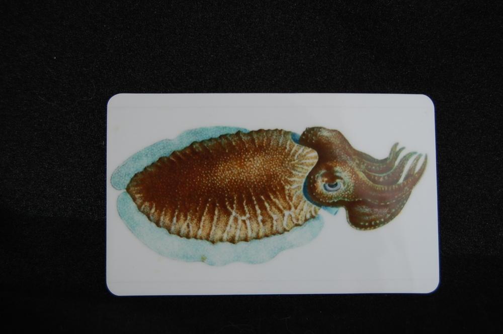Cuttlefish Magnet 5.JPG