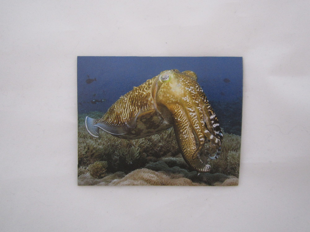 Cuttlefish Magnet 2.JPG