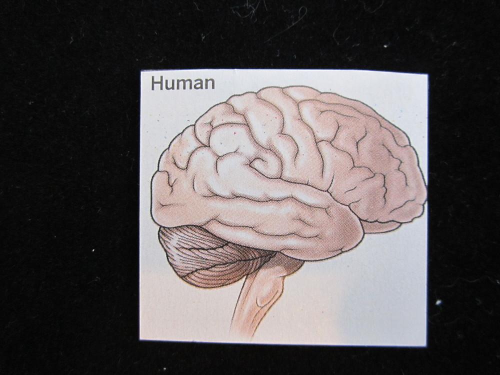 Human Brain Magnet 2.JPG