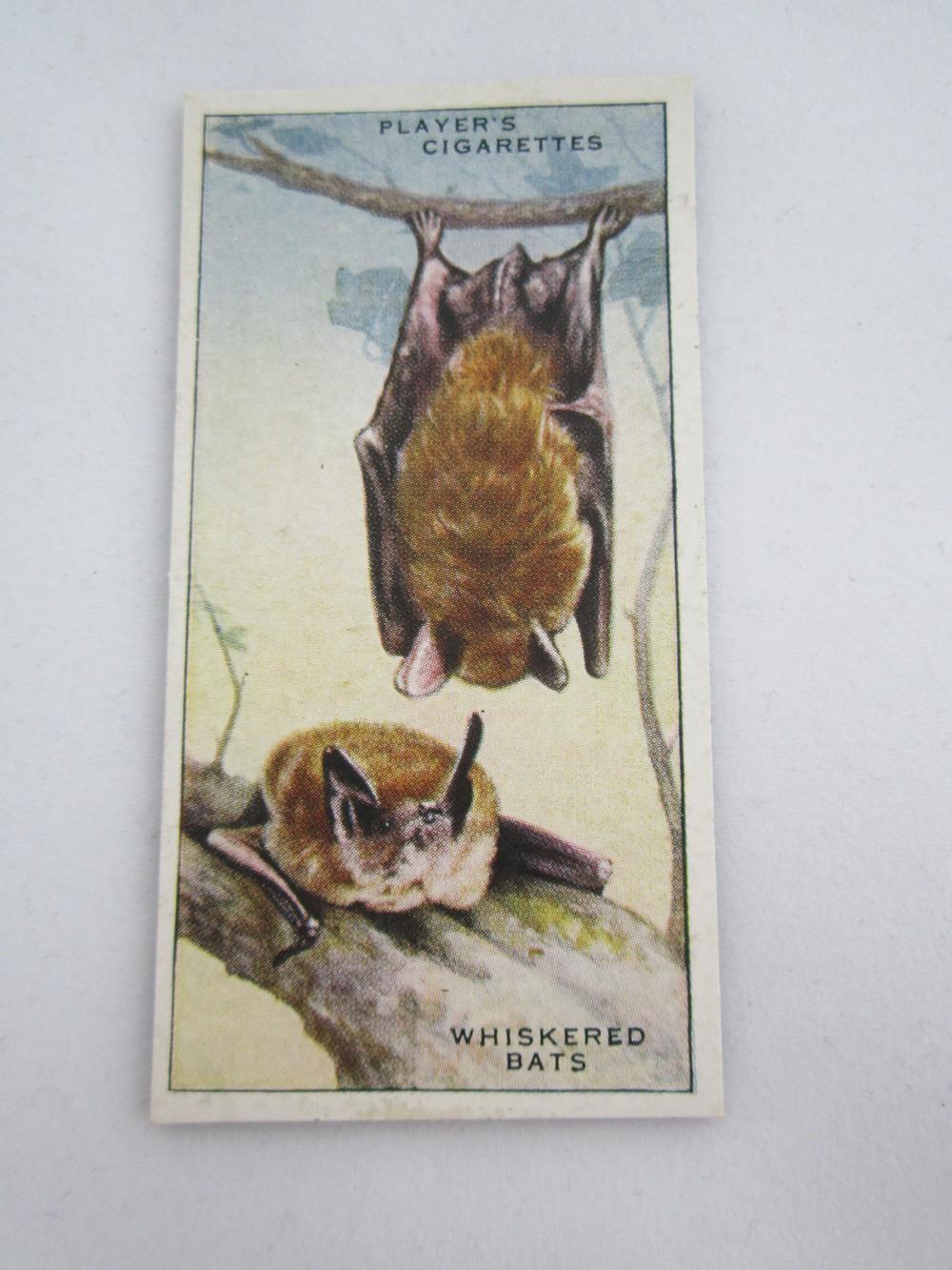 Whiskered Bats Magnet 2.JPG