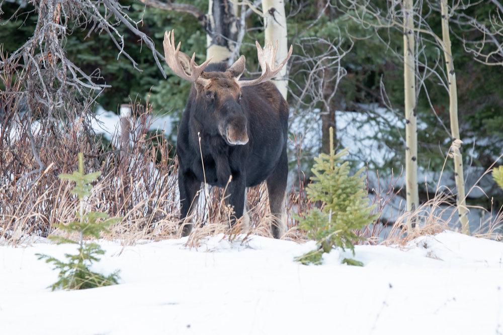 CO Moose