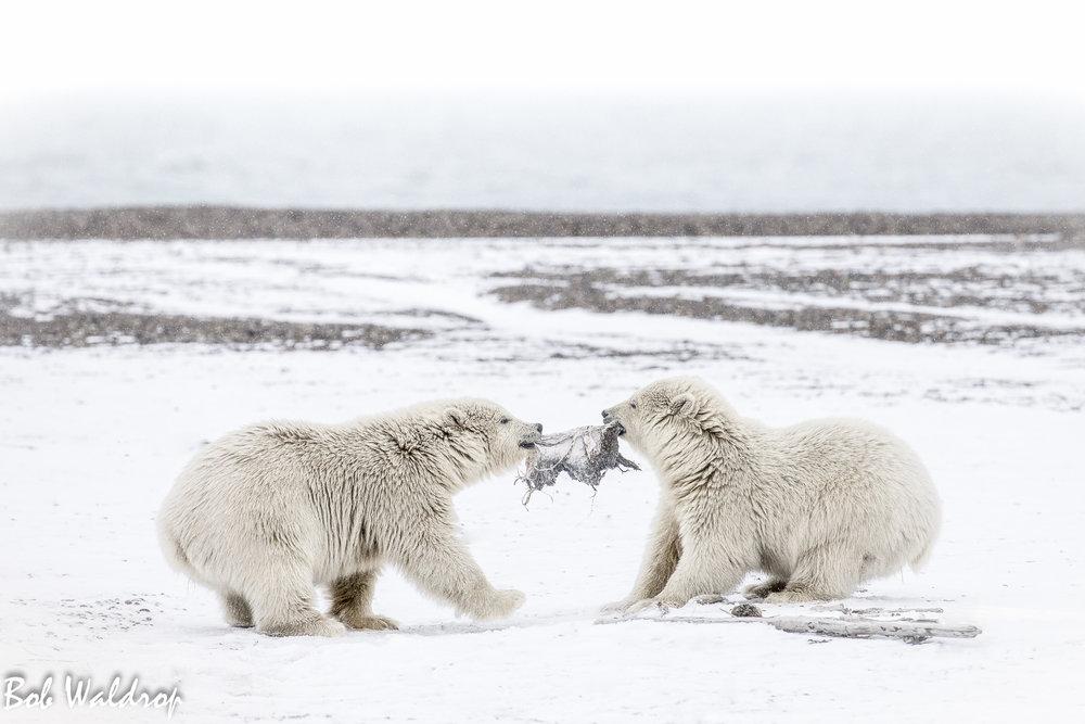 Polar Bears 1800 px --6.jpg