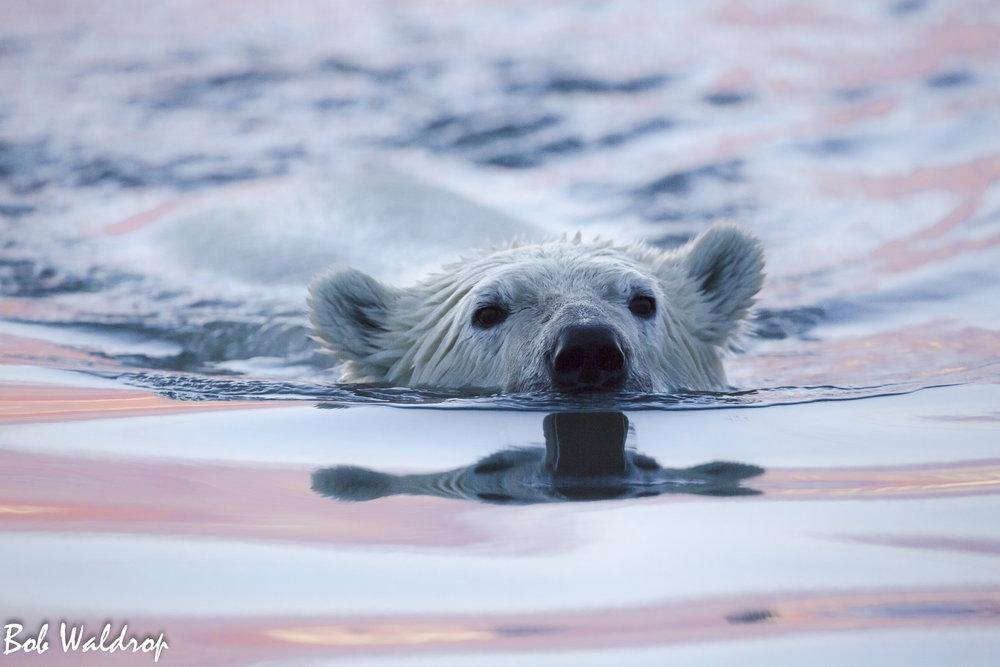 Polar Bears 1800 px -0618.jpg