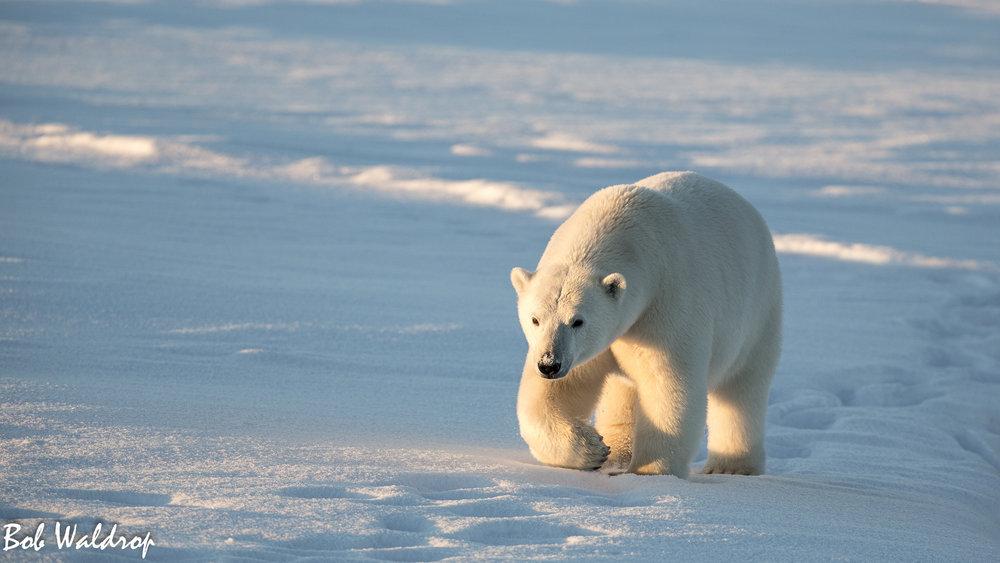 Polar Bears 1800 px -1621.jpg