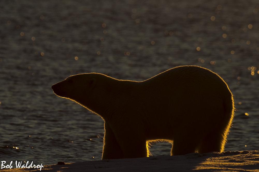 Polar Bears 1800 px -1781.jpg