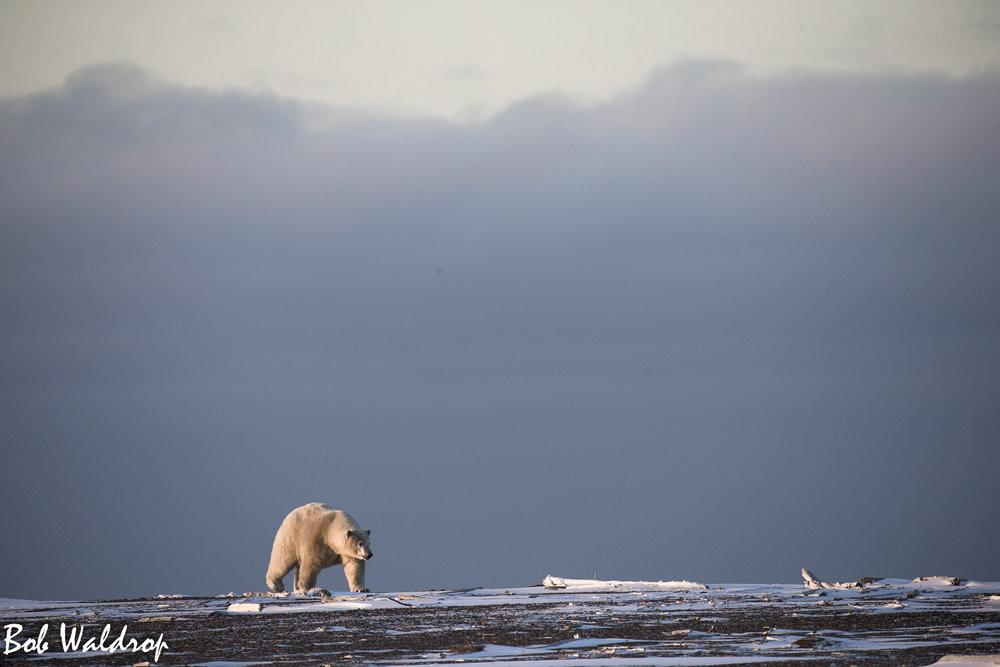 Polar Bears 1800 px -5383.jpg