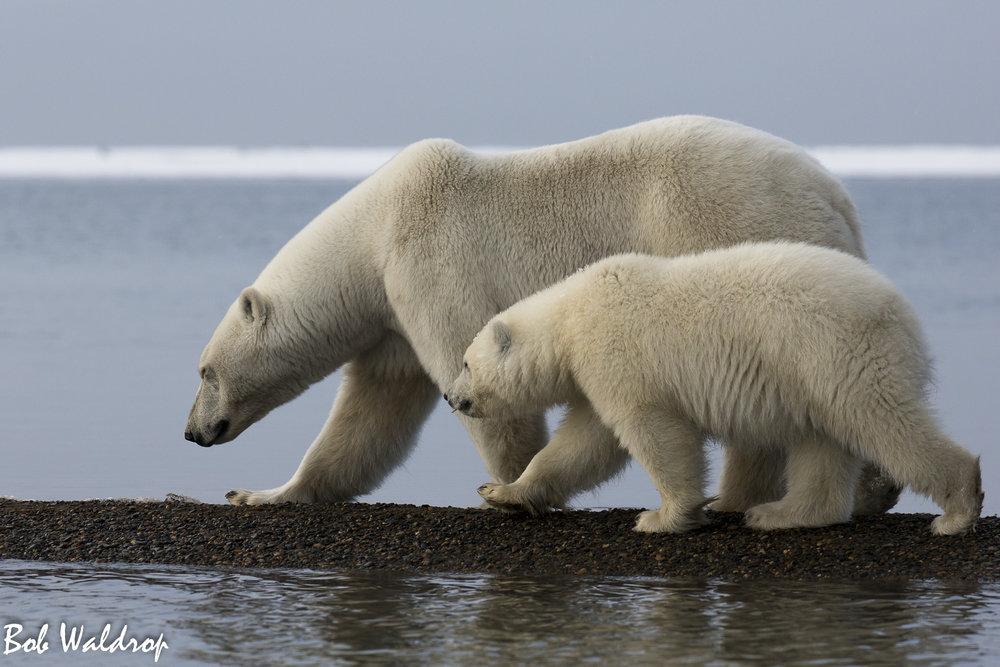 Polar Bears 1800 px -6400.jpg