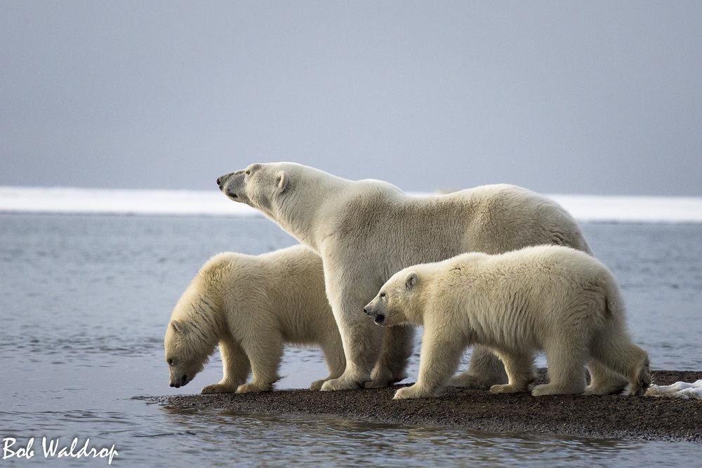 Polar Bears 1800 px -6427.jpg