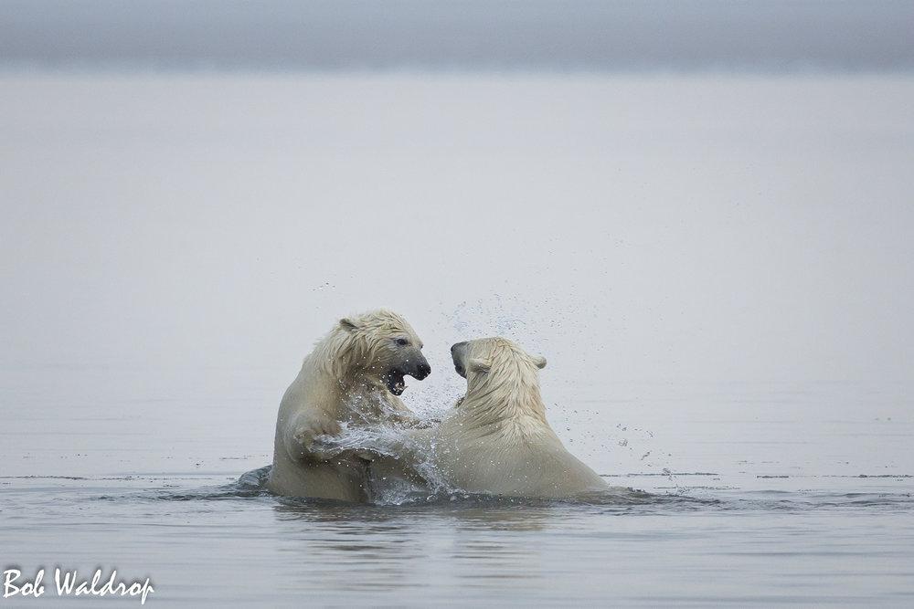 Polar Bears 1800 px -8697.jpg