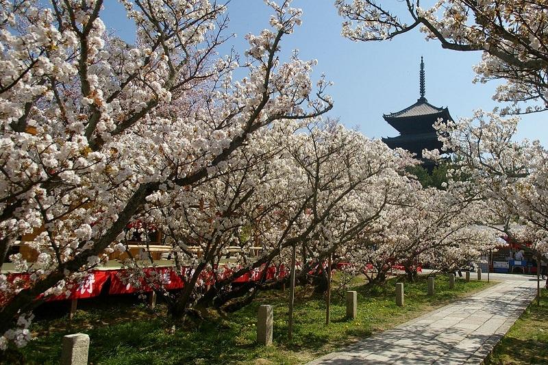 仁和寺の御室桜-7502.jpg