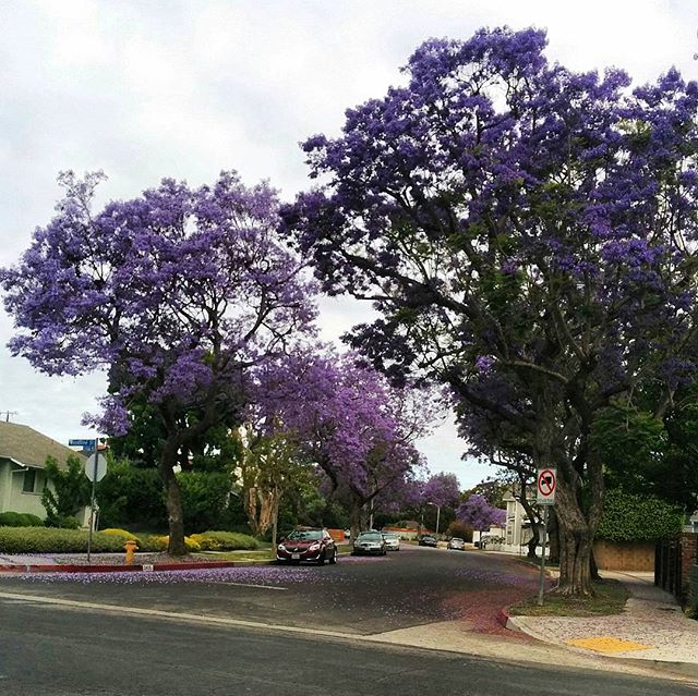 More gorgeous #summer #jacaranda street shots from a recent drive around the city.  #spring #losangeles #weekendvibes #nofilter