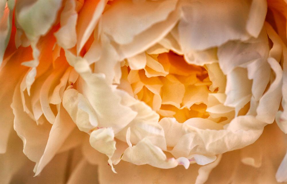 Closeup of peony.
