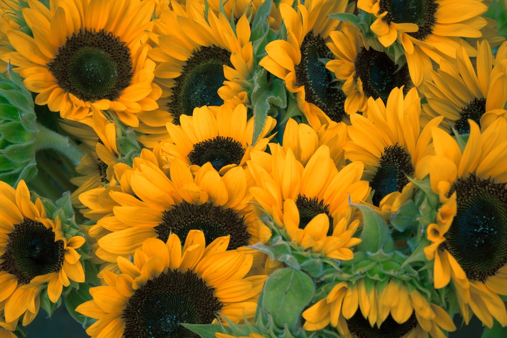 sunflowers-1208281.jpg