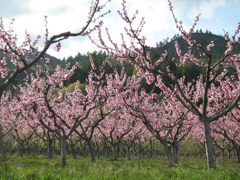 okanagan cherry orchard