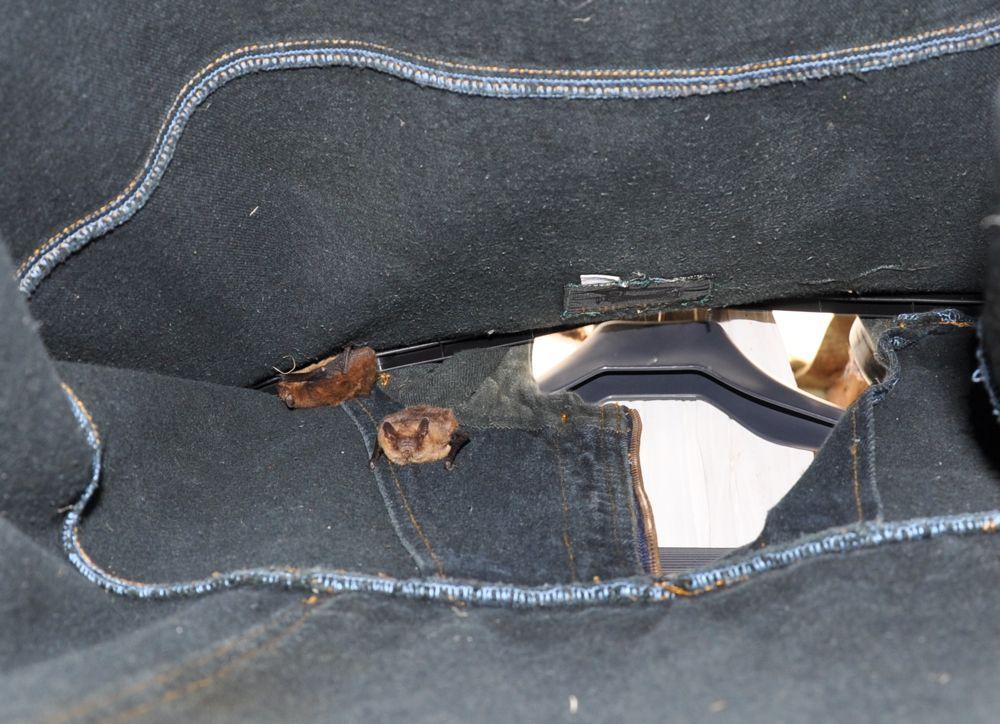 Bats roosting in Maurice's Jacket.jpg