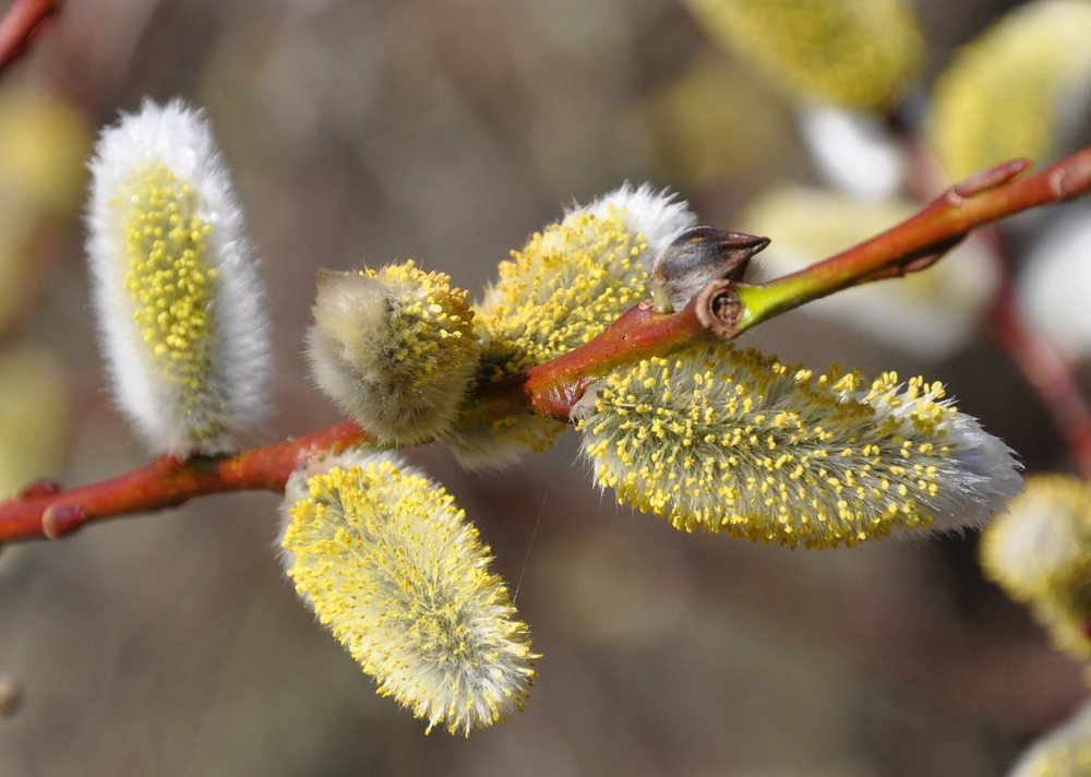 Pussy Willow Two.jpg