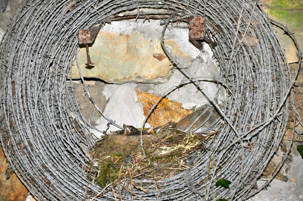 Blackbird Nest in a coil of Barbed Wire.jpg