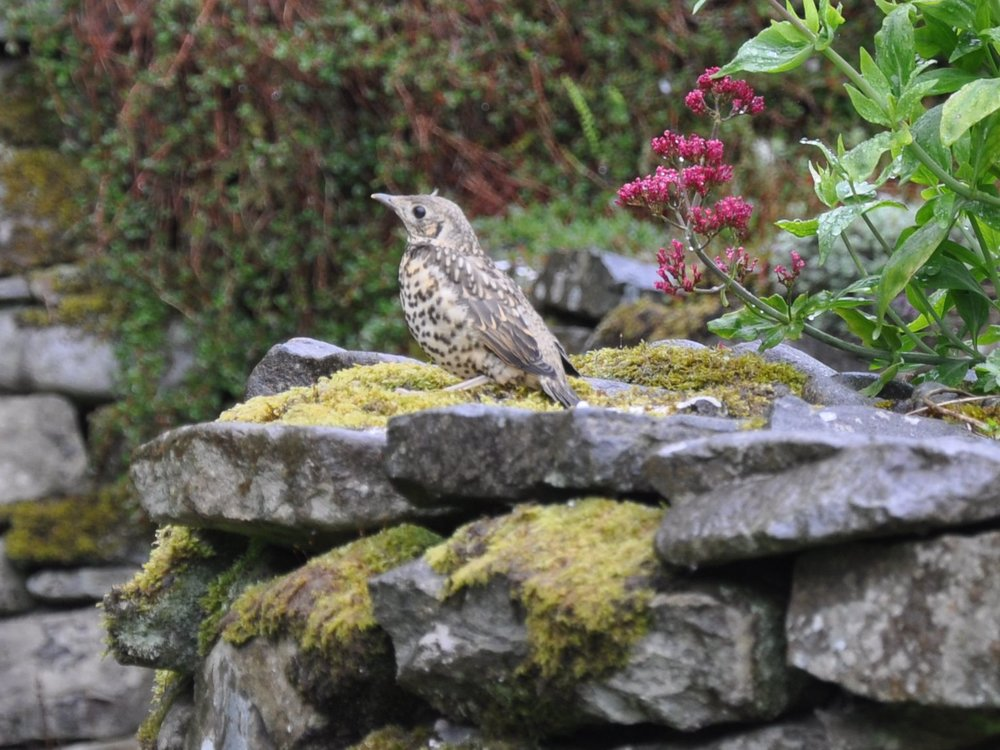 Young Mistle Thrush.jpg