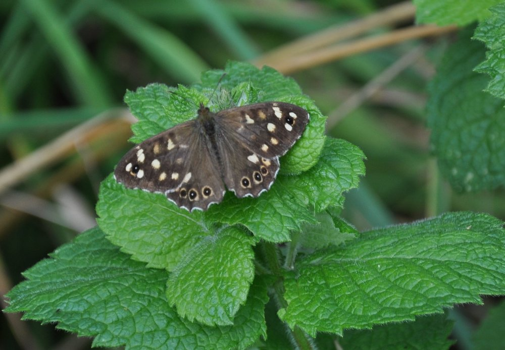 Speckled Wood on Apple mint.jpg